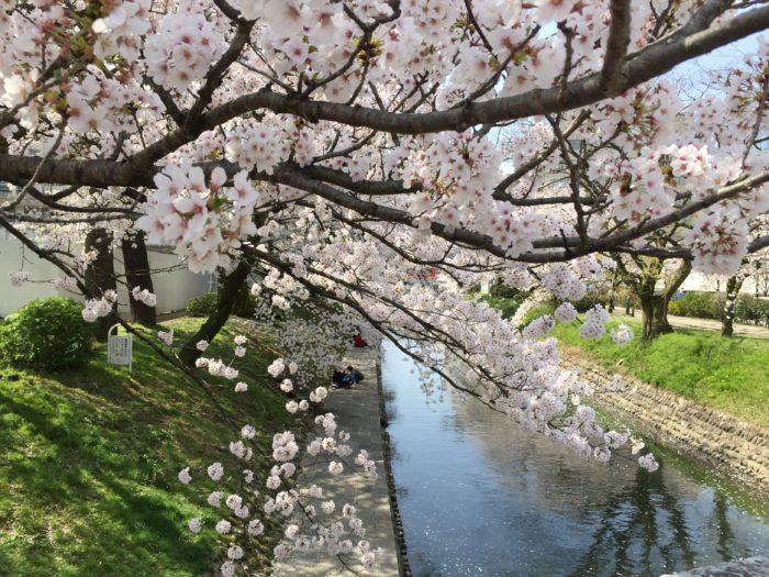 桜の下でアサーティブな交流を